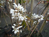 Amelanchier Canadensis - 'Shadbush'