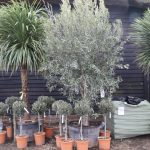 Olea europaea and Cordyline australis