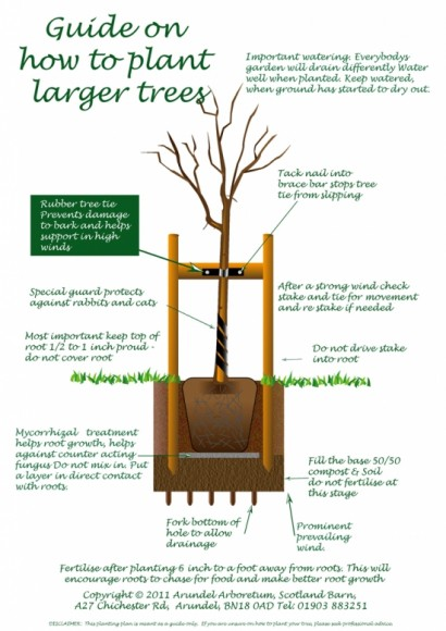 Tree planting guide for large and small trees from arundel arboretum - Fir tree planting instructions a vigorous garden ...