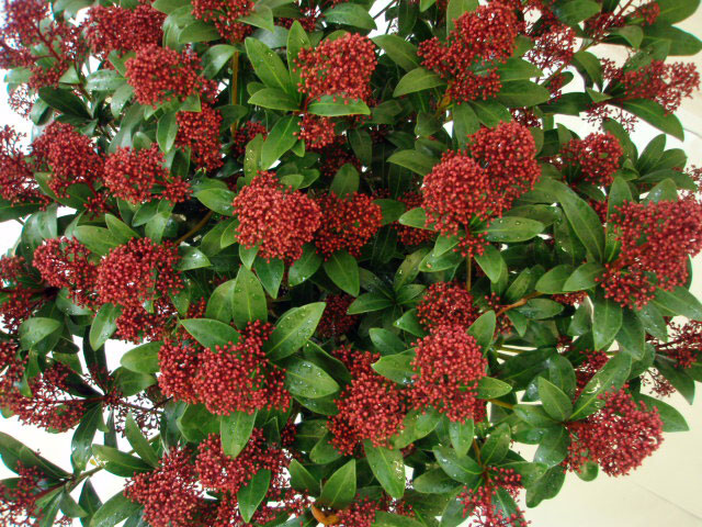 skimmia japonica 39 rubella 39 arundel arboretum. Black Bedroom Furniture Sets. Home Design Ideas