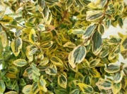 Euonymous 'Emerald N'Gold'