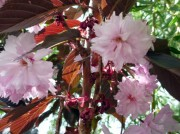 Prunus 'Royal Burgundy'