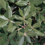 Quercus ilex