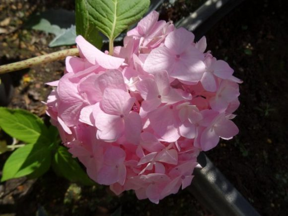 Hydrangea macrophylla 'Bouquet Rose' large shrubs
