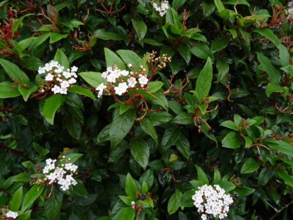Viburnum tinus 'Eve Price' large shrubs