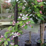 Malus 'White Star'