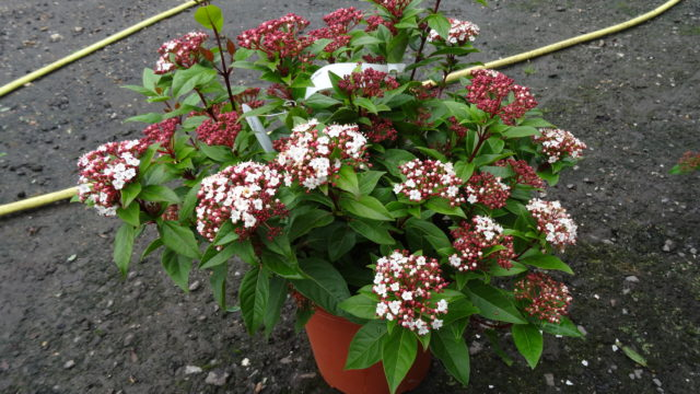 viburnum tinus 39 spirit 39 arundel arboretum. Black Bedroom Furniture Sets. Home Design Ideas