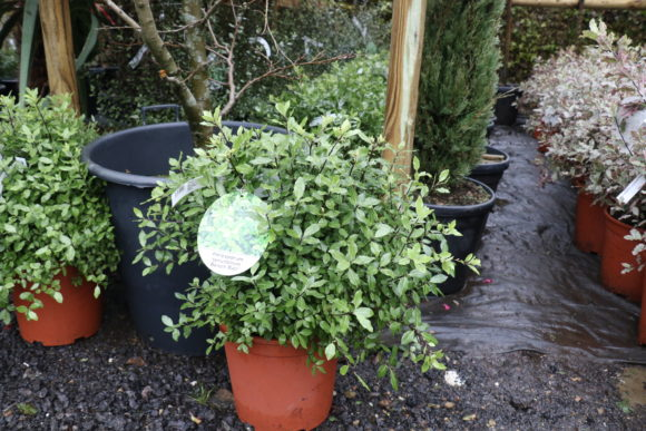 Pittosporum tenuifolium 'Beach Ball'
