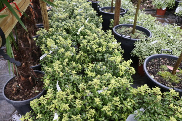 Pittosporum tenuifolium 'Gold Star'