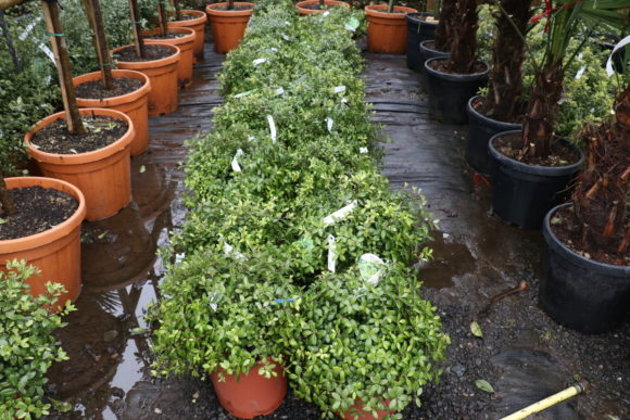 Pittosporum tenuifolium 'Golden Ball'